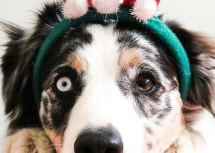 Dog Christmas Emergencies
